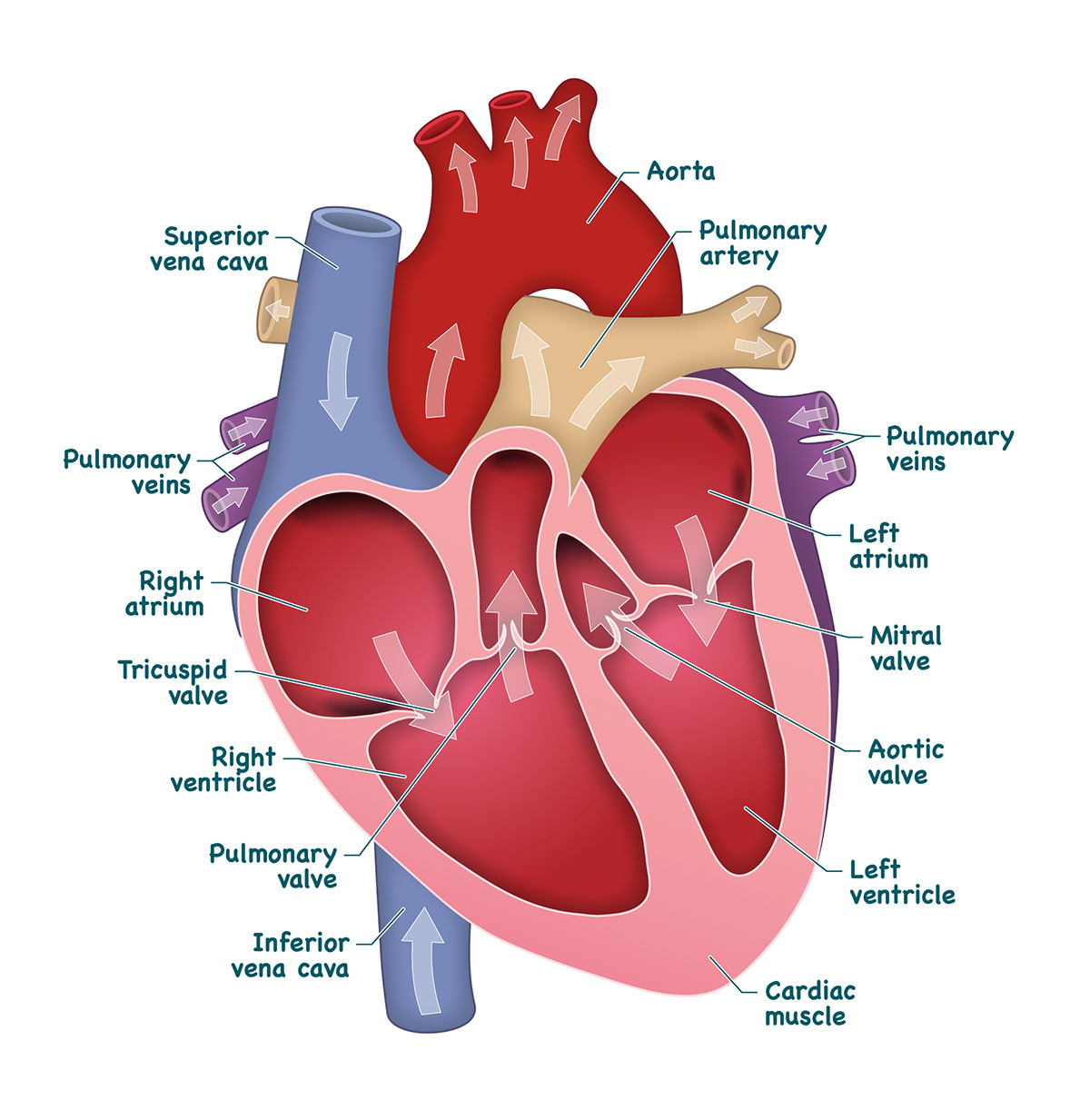 Draw a heart label the chambers and draw arrows to show the flow download jpg ccuart Images