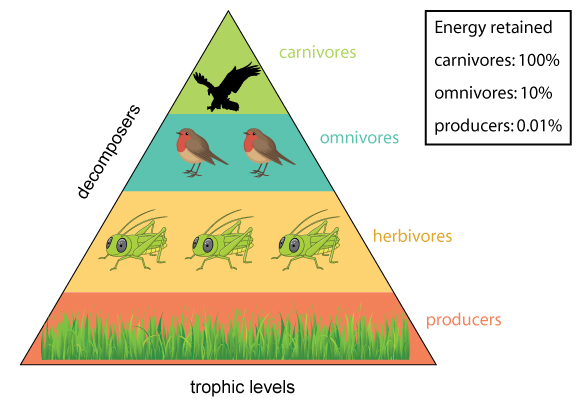 A Student Drew This Model Of The Trophic Levels Of An