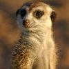 meerkat18