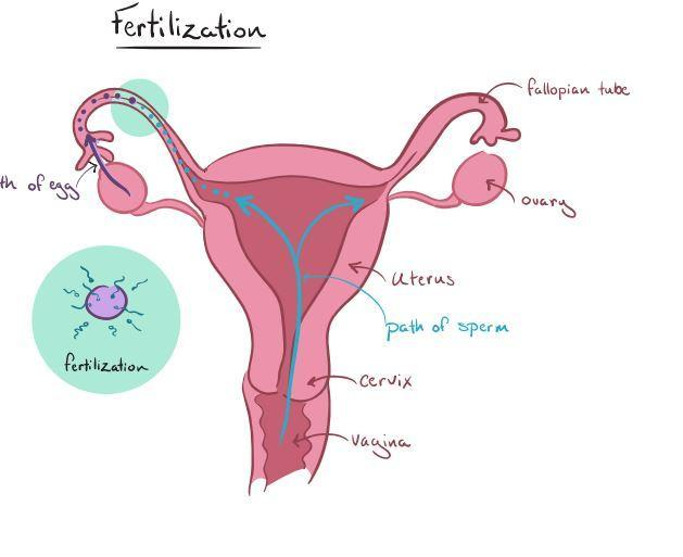 The Diagram Shows The Female Reproductive System  What