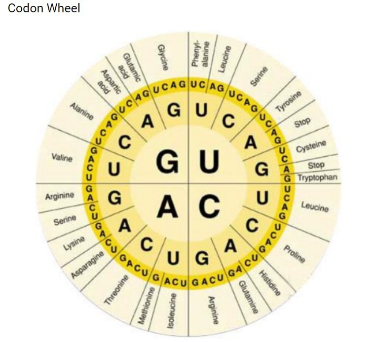 Image result for codon wheel