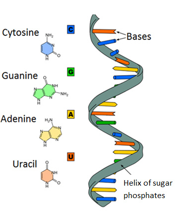 The Diagram Shows A Nucleic Acid In The Shape Of A Helix Which