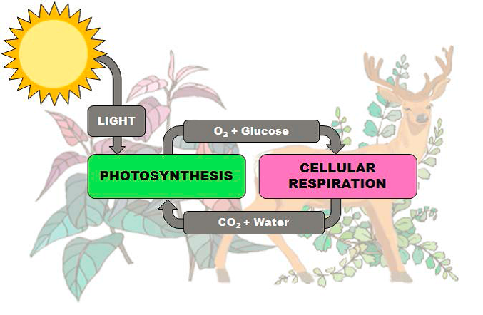 The Diagram Shows How Light Energy From The Sun Drives The Processes Of Photosynthesis And