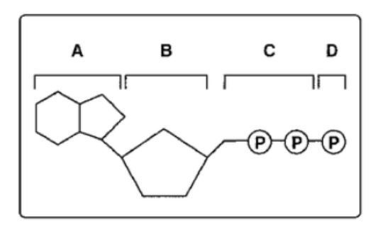 1 in the diagram below, what is not a part of an adp molecule? a a Electron Transport Chain Diagram download jpg