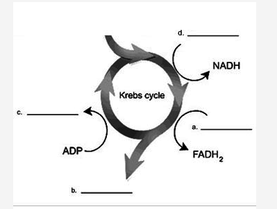 In This Diagram Of The Krebs Cycle What Are The Correct