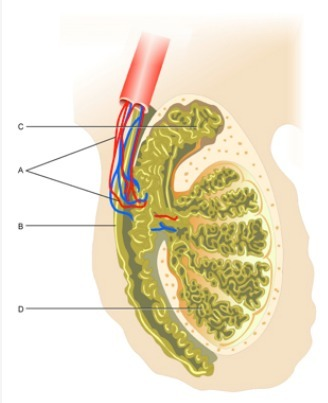 Vas Deferens Diagram Based on the di...