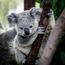 Koalaluvicecream
