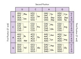 Use The Codon Chart Below To Determine Which Amino Acid Matches With Uac Brainly Com