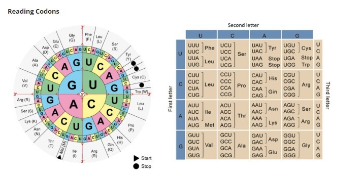 Please Help Me Brainliest Using The Codon Wheel Or Chart Shown Above Determine Amino Acid Brainly Com