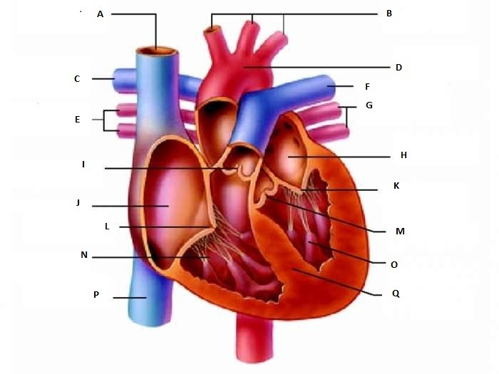 Identify The Structure Of The Human Heart Which Is A Valve Between