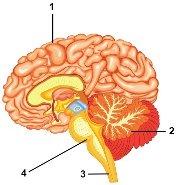 Picture Of Brain With Parts Labeled - picture of