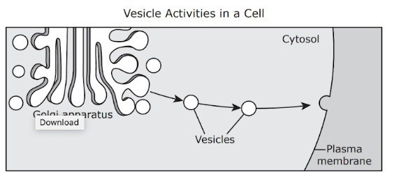 The Diagram Illustrates The Activity Of Vesicles During A Cellular