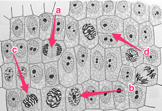 Arrange the stages of mitosis shown in the diagrams in sequential arrange the stages of mitosis shown in the diagrams in sequential order use the abcd labels on the drawings to indicate the order a a b c then d ccuart Gallery