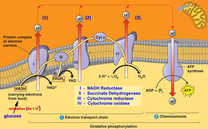 Describe the energy related pathways of the electron transport chain download jpg ccuart Image collections