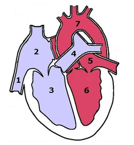 Which numbers in the image represent the parts of the heart used to which numbers in the image represent the parts of the heart used to pump blood to the lungs ccuart Choice Image