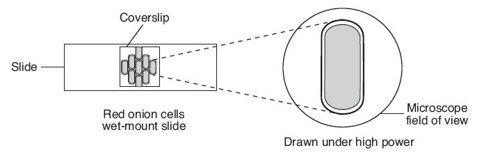 onion cell diagram The onion (allium cepa l  onions are, therefore, commonly employed in science education to teach the use of a microscope for observing cell structure.
