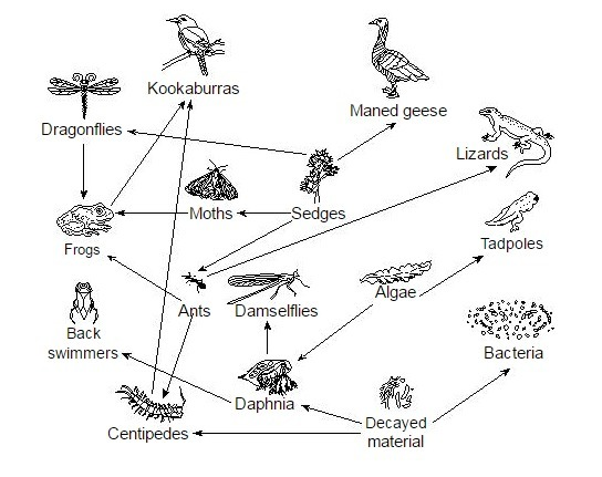 algae food web