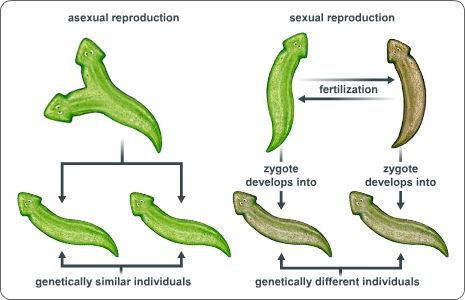 Based On The Diagram How Do Planarians Benefit From Sexual