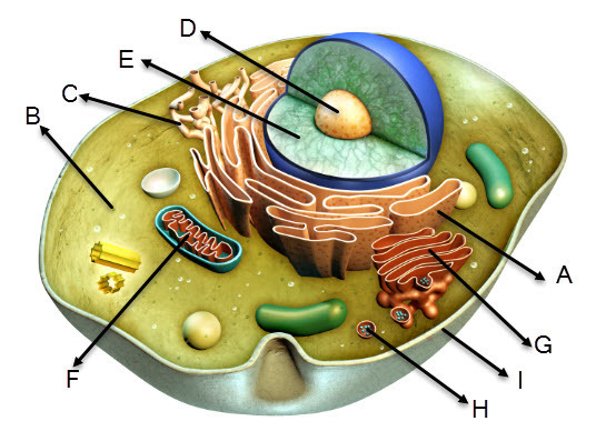 Review The Diagram Of The Animal Cell Given Below And Answer The