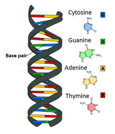 The Diagram Shows A Nucleic Acid In The Shape Of A Double Helix