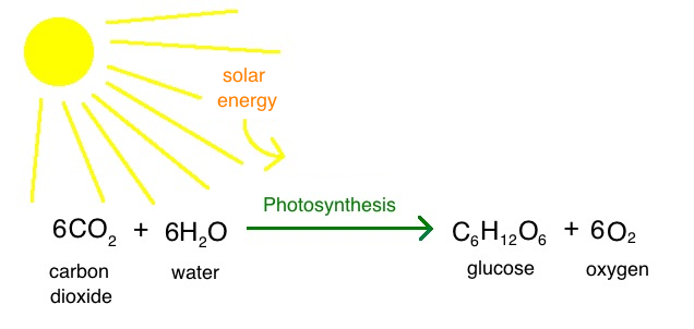 the rate of phtosynthesis The rate of photosynthesis is affected by a few of factors aim to investigate the effect of carbon dioxide concentration on the rate of photosynthesis in leaves.