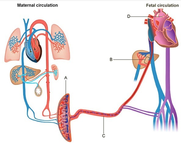 Which Structures In The Diagram Above Connects The Umbilical Vein With The Vena Cava And