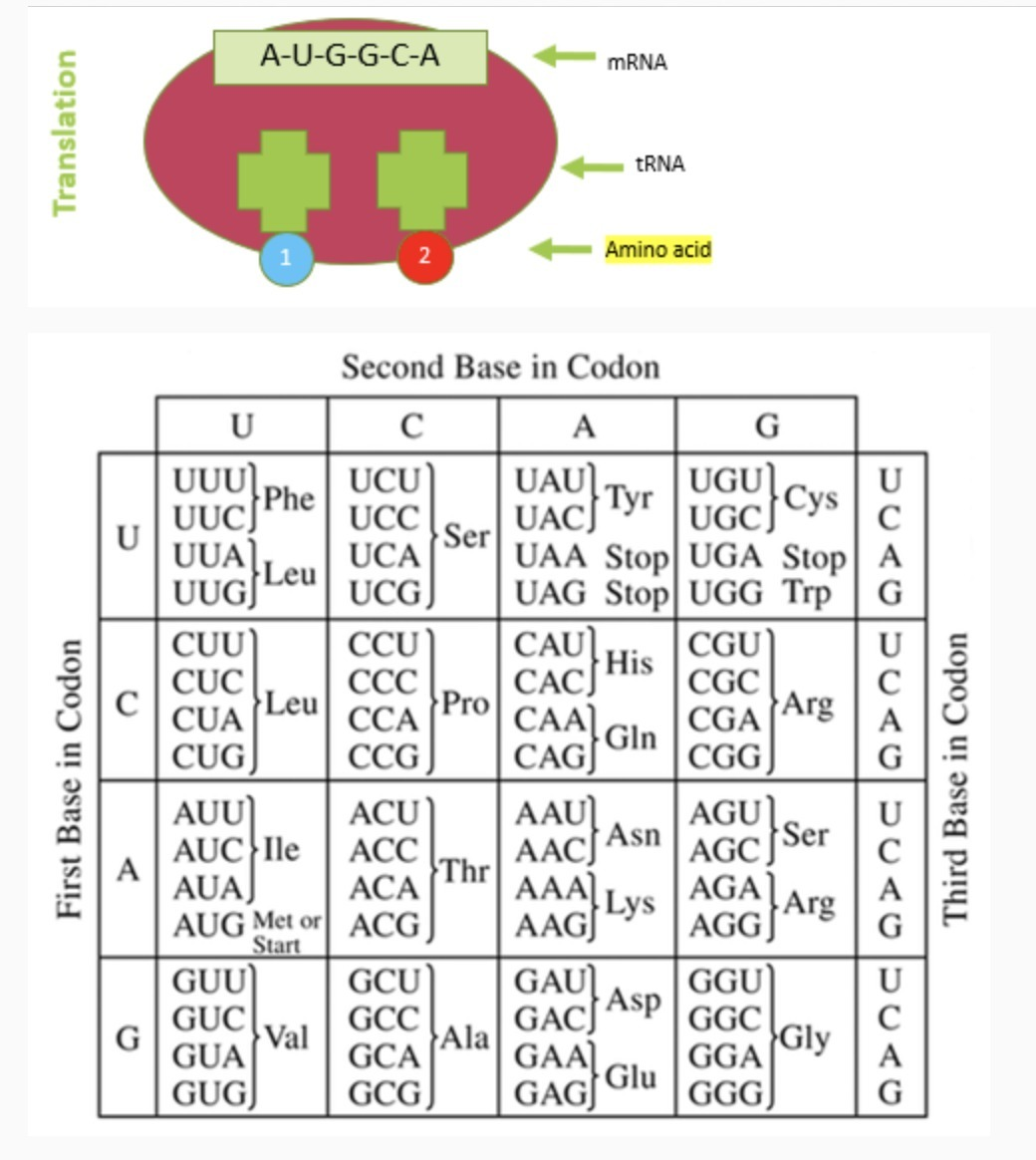 beautiful Codon Amino Acid Abbreviations Part - 1: using the chart, translate the mRNA into amino acids. (amino acids  abbreviations plz) - Brainly.com