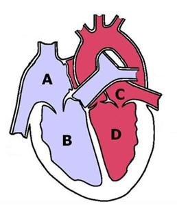 Which Letters In The Image Represent The Heart S Ventricles