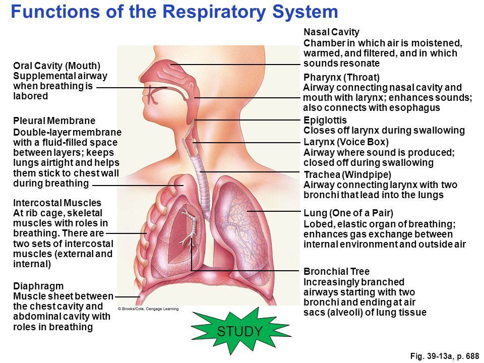 Respiratory system |Respiratory System Organs And Functions