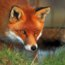 FoxHair
