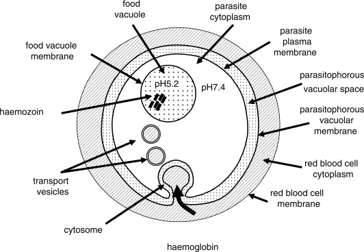 diagram of red blood cells labeled