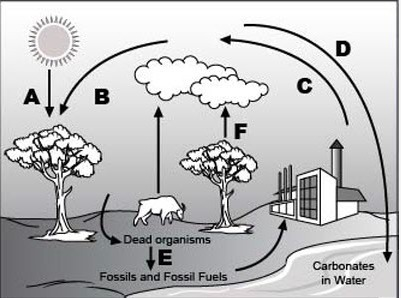 explain the process of carbon cycle