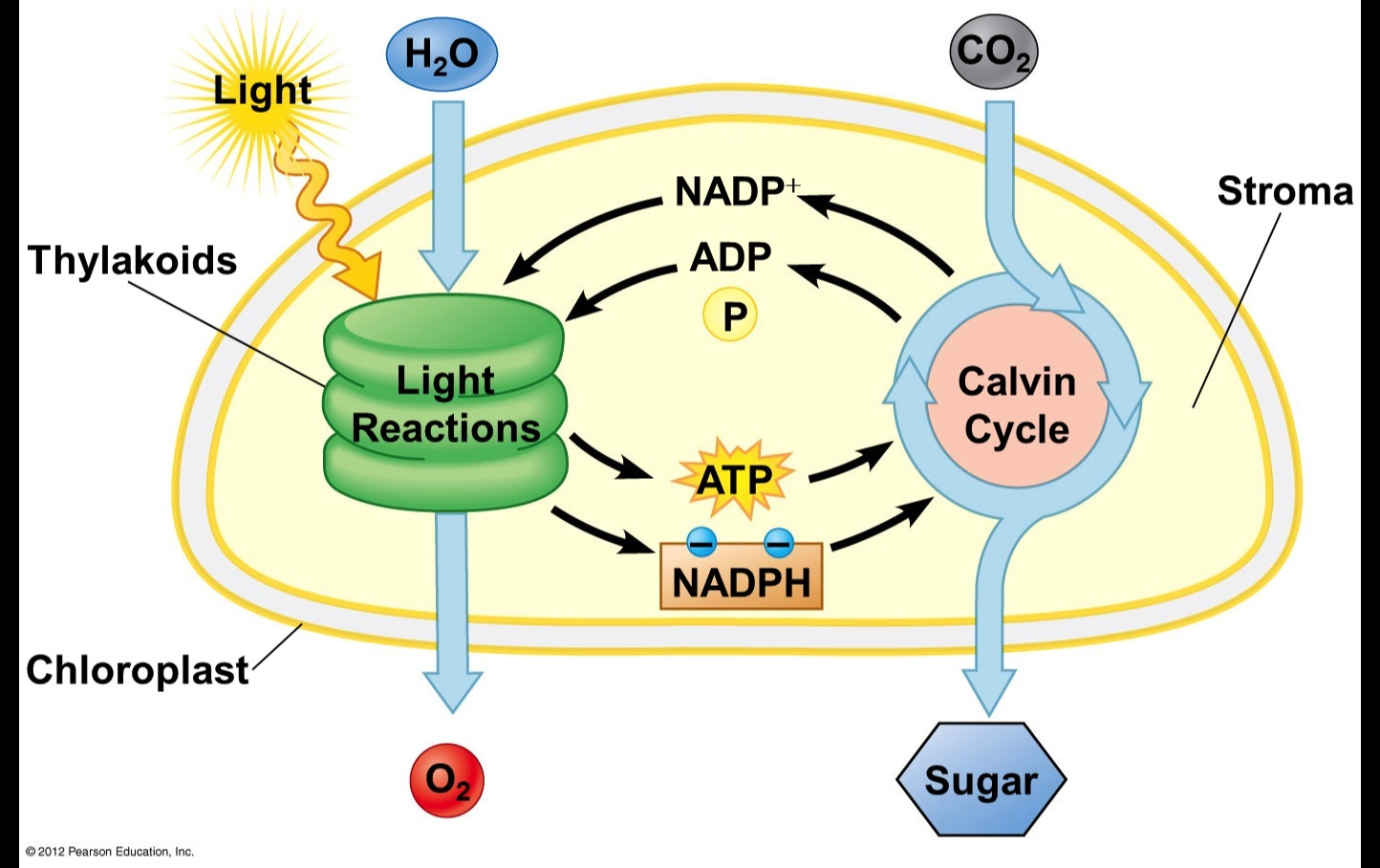Overview diagram of the process of photosynthesis showing the light download png ccuart Gallery