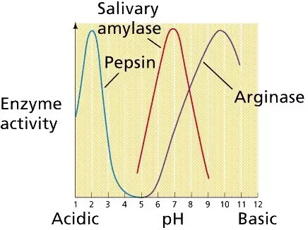 at what ph did you see the highest activity of salivary amylase Characterization of bacillus anthracis arginase:  did not affect arginase activity at either ph 6  in that highest arginase activity occurred at ph 9.