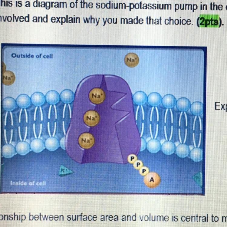 This Diagram Of The Sodium Potassium Pump In The Cell Membrane