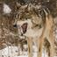 wolfie20
