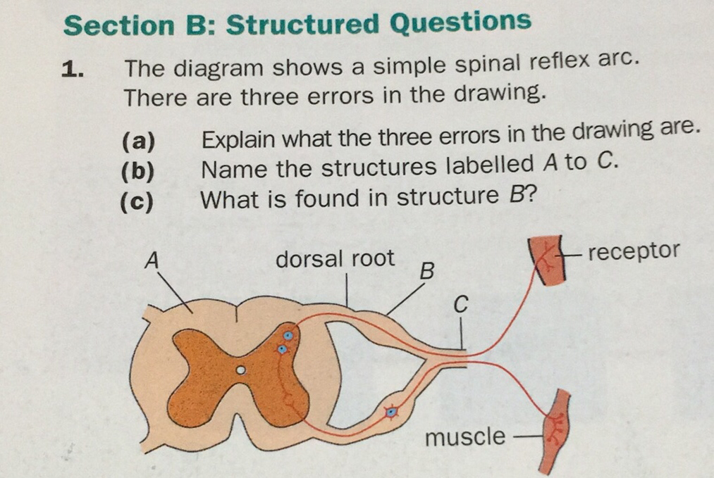 Section b structured questions the diagram shows a simple spinal download png ccuart Gallery