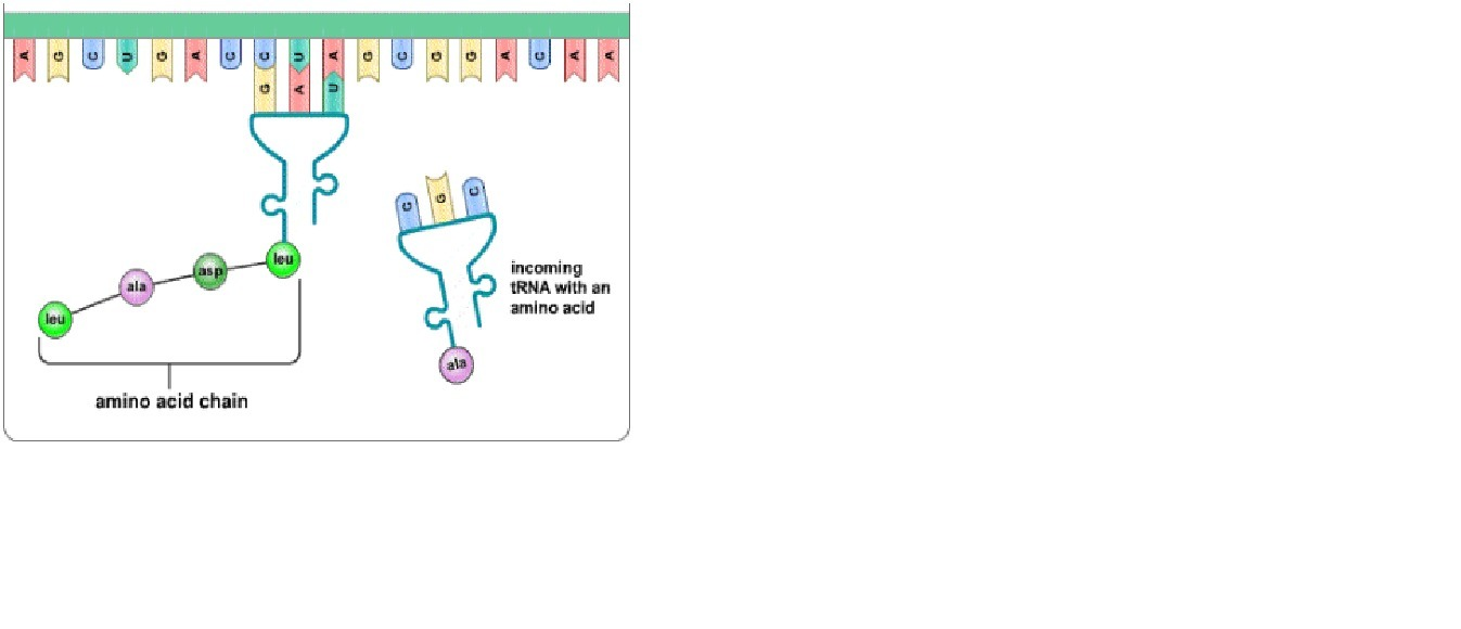 cbfc9b83fe95c24f4ebc57144de7247d which structure is missing from the diagram, but helps mrna and trna