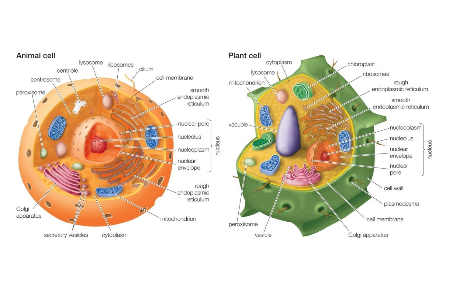 what are six similarities between plant and animal cell organelles
