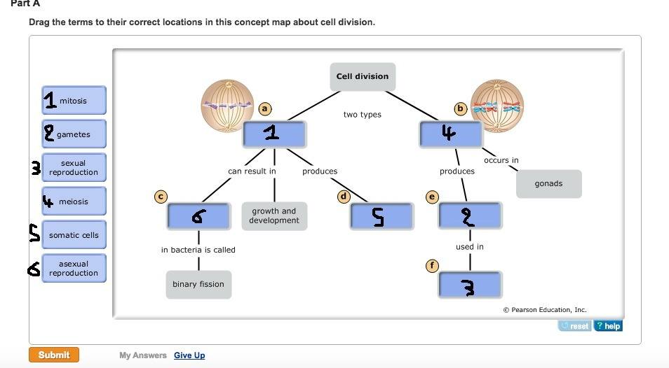 Concept Map Meiosis.Drag The Terms To Their Correct Locations In This Concept Map About Cell