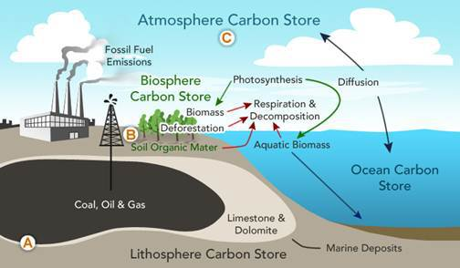 What is the next phase of the    carbon    cycle for the    carbon       source    labeled A  Photosynthesis Ocean