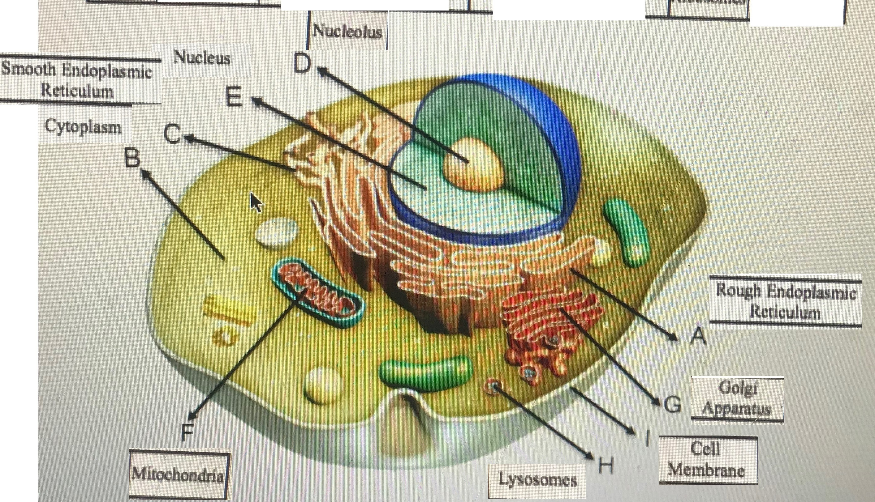 Identify The Nine Cell Structures That Are Labeled In The Animal Cell Diagram Given Below